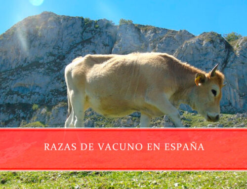 Razas de vacuno en España